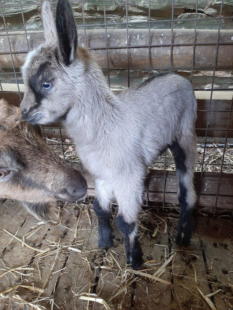 Cobweb Goat