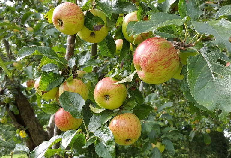 Apples on the Tree at Mary Arden's Farm