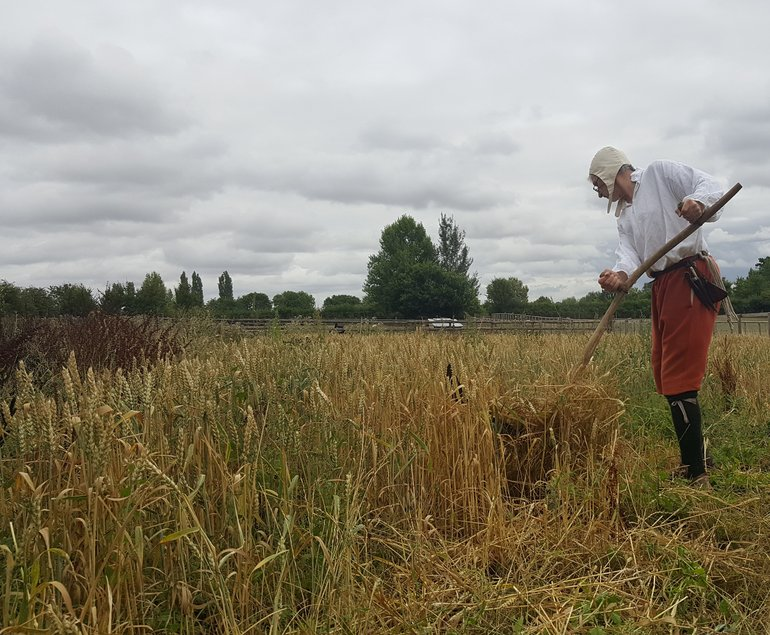 Harvesting at Mary Arden's Farm