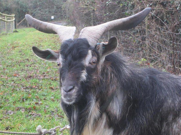 Rare Breeds: Arapawa Goats