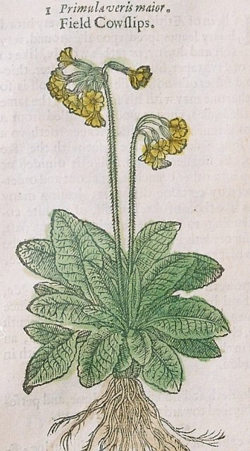 The cowslip illustrated in our 1633 edition of Gerard's Herbal