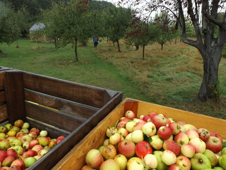 Apple picking at Anne Hathaway's Cottage