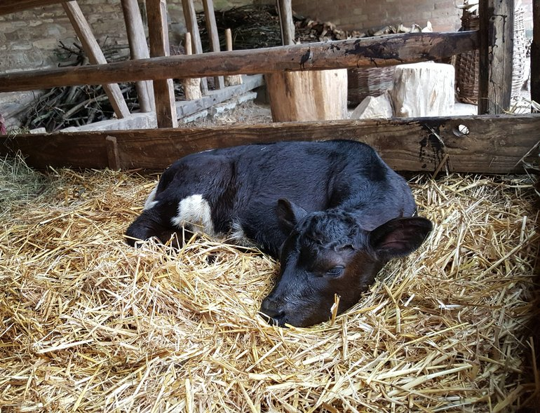 Gloucester calf