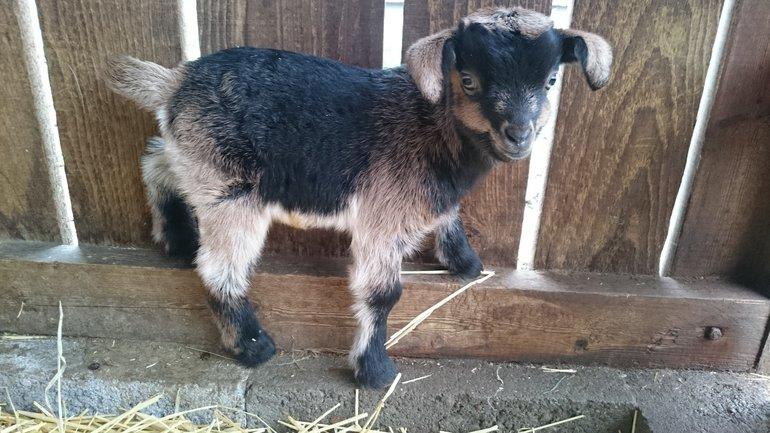 Arapawa Goat kid