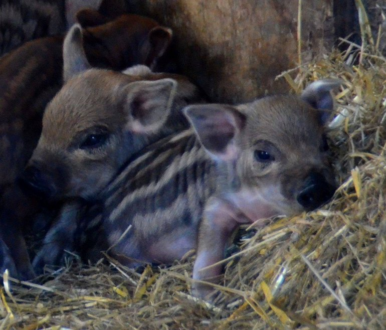 Mangalitza piglets