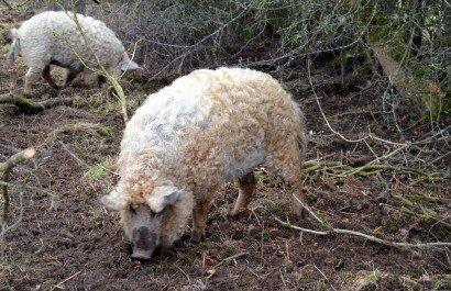 Mangalitza Pigs at MAF