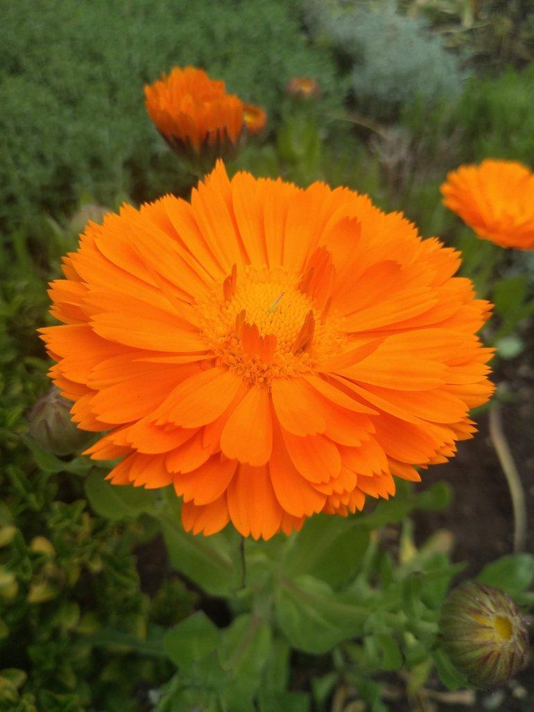 Marigold in SBT garden.jpg