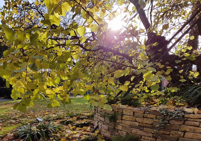 New Place, black mulberry tree, autumn