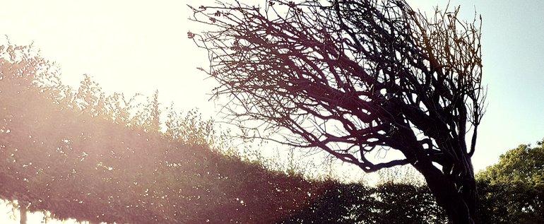 New Place, Bronze Hawthorn Tree