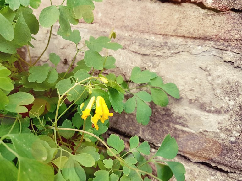 New Place, Corydalis lutea growing in wall