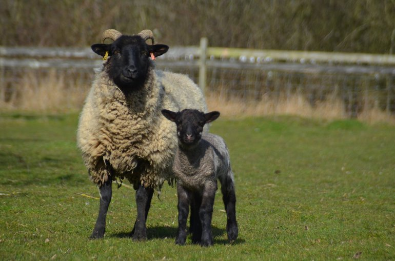 Norfolk Horn ewe and lamb