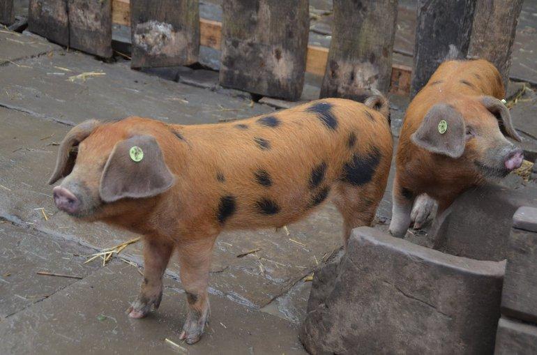 Oxford Sandy and Black piglets