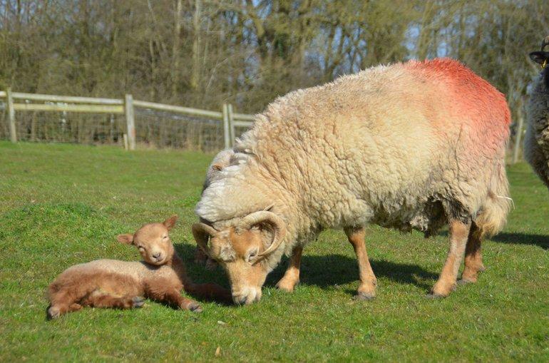 Portland ewe and lamb