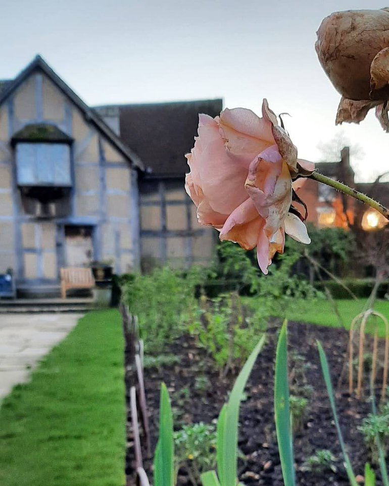 Rosa 'Sweet Juliet' holding on in the winter - Shakespeare Borders.jpg