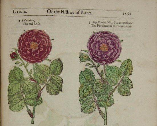 Roses in Gerard's Herball