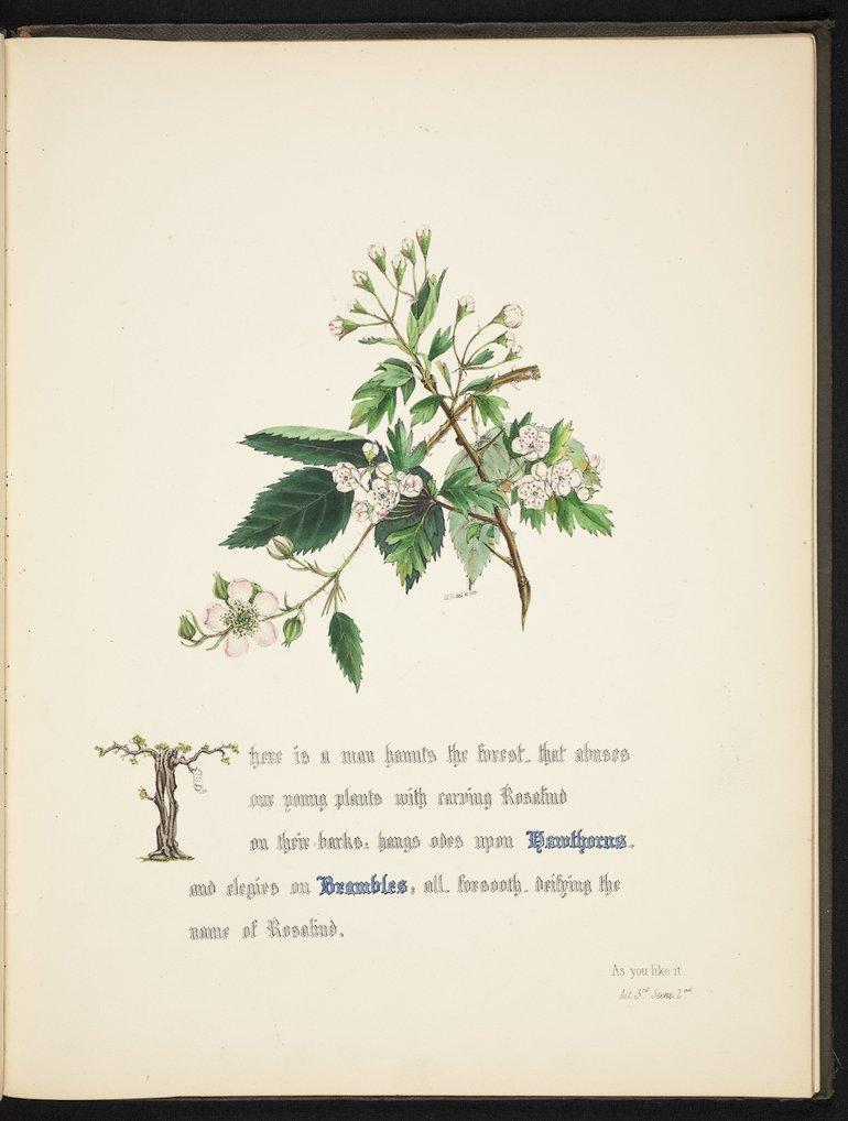 sbt-os-56-83039953-flowers-of-shakespeare-1845-plate-14 hawthorn.jpg