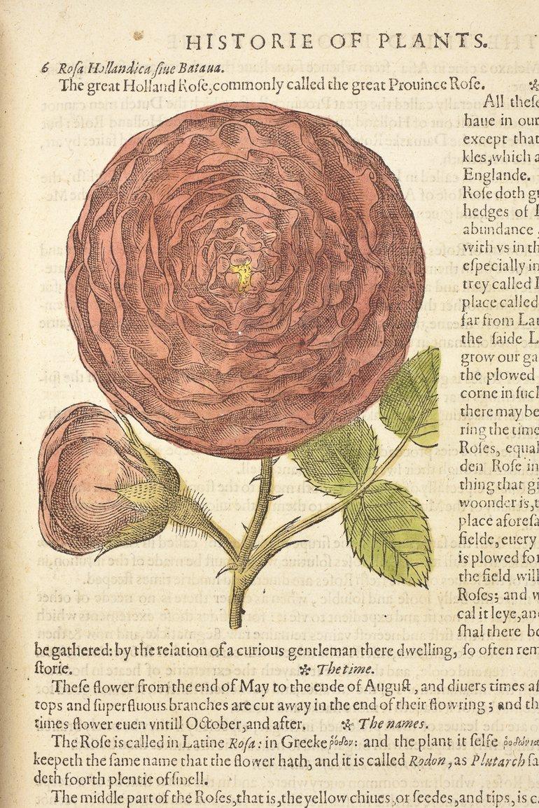 sbt-sr-os-97-7-83428704-gerards-herball-1597-p-1081-roses-detail.jpg