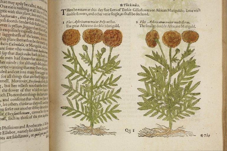 sbt-sr-os-97-7-83428704-gerards-herball-1597-p-609-marigolds.jpg