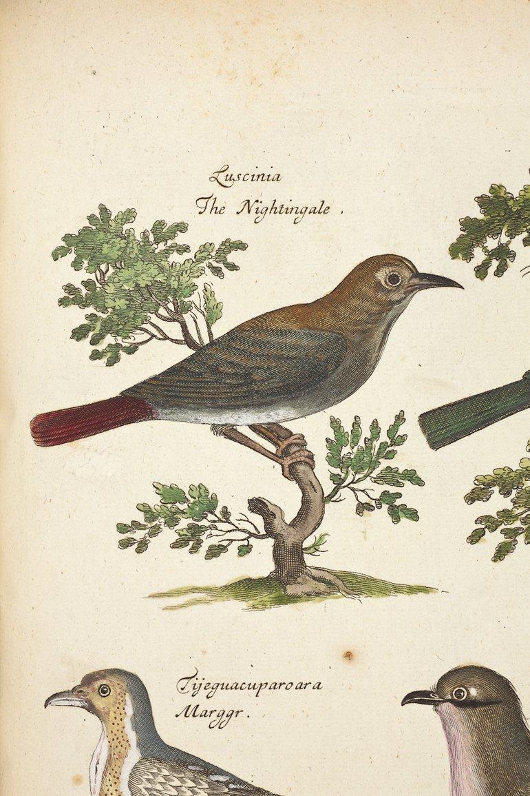ornithology-nightingale