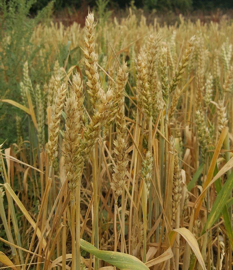 Wheat at Mary Arden's Farm